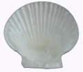 Natural Scallop Shell
